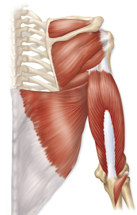 posterior view of right arm muscles | H5P