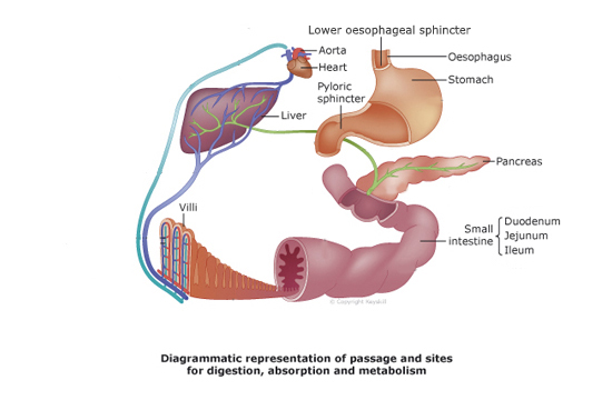 A&P_Digestion and the function of the small intestine | H5P