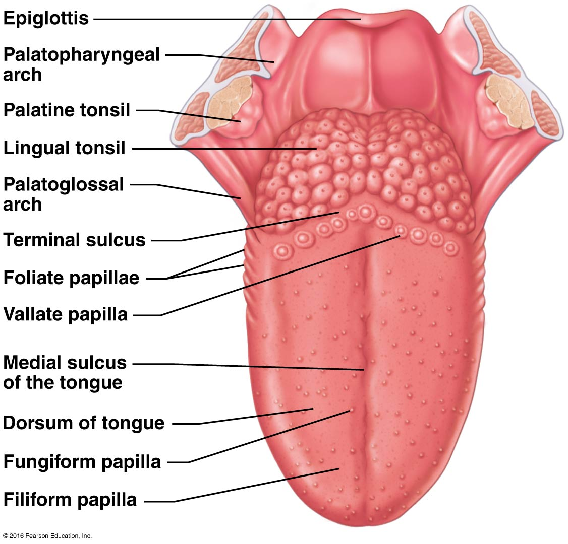 Tongue Anatomy Quiz H5p