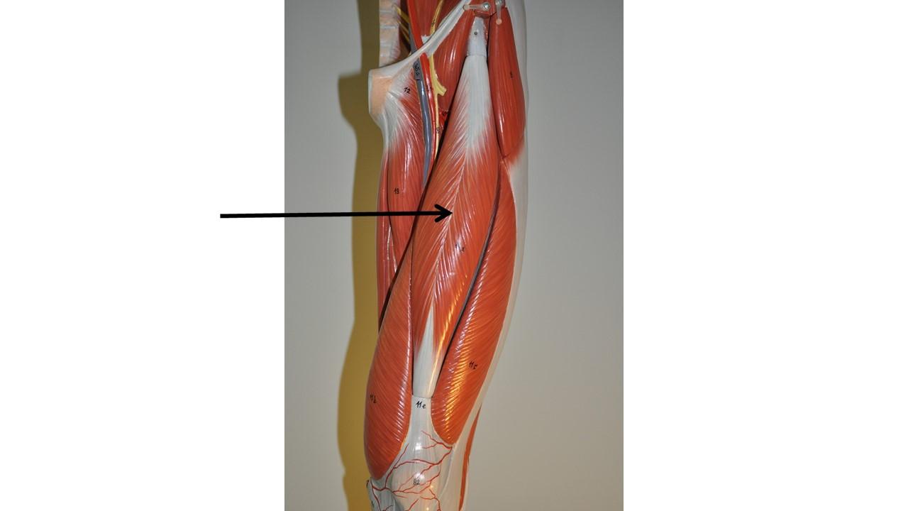 Muscles Lower Limb H5p